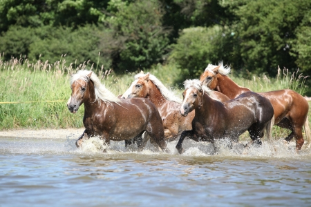Batch of young chestnut horses running in the water Stockfoto