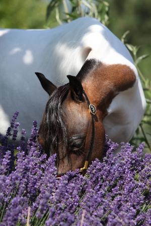 mottle: Chiazze americano miniatura cavallo sniffing di fiori viola