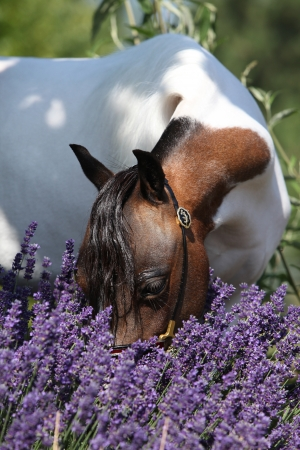 mottle: Mottle american miniature horse sniffing to purple flowers Stock Photo