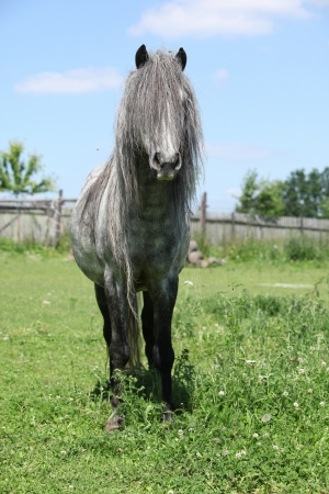 inaction: Nice grey welsh pony on pasturage in summer Stock Photo