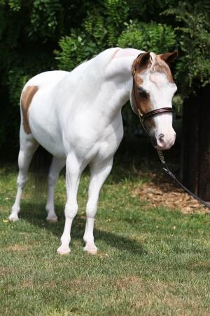 mottle: Chiazze americano miniatura cavallo in piedi in giardino