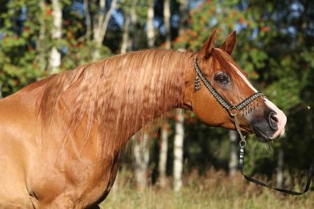 Potrait der schönen Kastanie arabischen Pferd mit schönen Show Halfter Standard-Bild