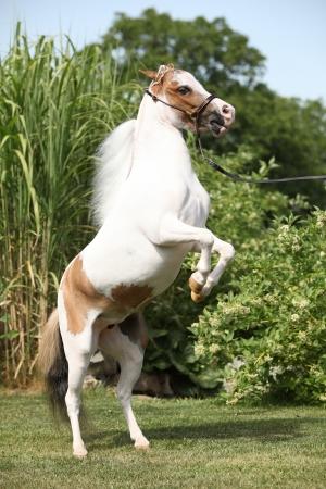skewbald: Skewbald American miniature horse prancing in the garden