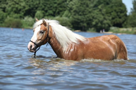 halter: Young haflinger with halter in the water