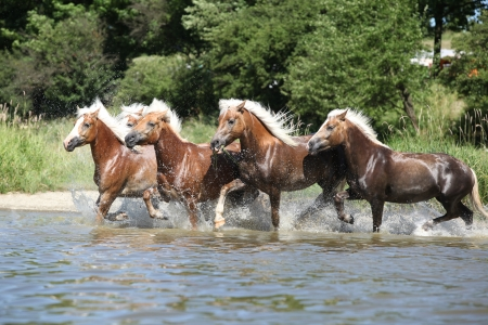 Batch of haflingers running in the wather in summer photo