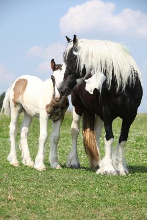 skewbald: Nice skewbald irish cob mare with foal on green pasturage