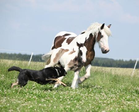Irish cob mare with foal runaway from the dog photo
