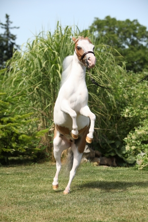 mottle: Skewbald American miniature horse prancing in the garden