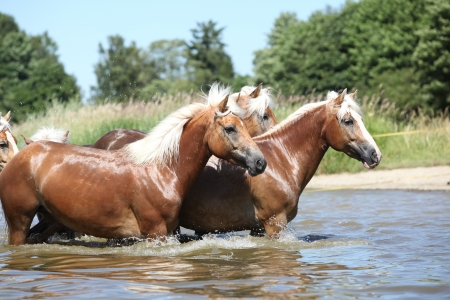 wather: Batch of nice chestnut horses in the wather in summer Stock Photo