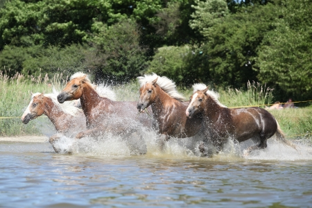 Batch of nice chestnut horses running in the wather in summer photo