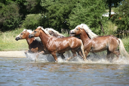 wather: Batch of haflingers running in the wather in summer