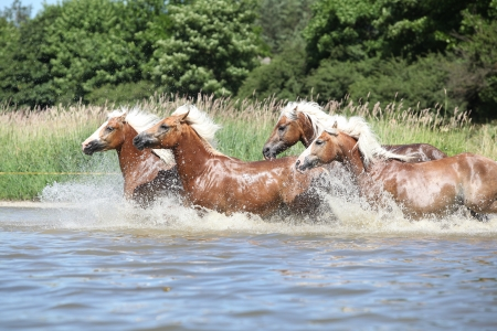 wather: Batch of nice chestnut horses running in the wather in summer