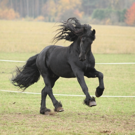 Gorgeous friesian stallion running on paturage in autumn Stock Photo