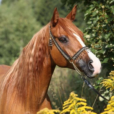 halter: Potrait of nice chestnut arabian horse with beautiful show halter Stock Photo