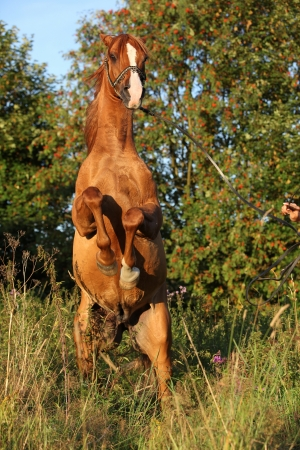 mottle: Gorgeous arabian horse prancing in the summer evening