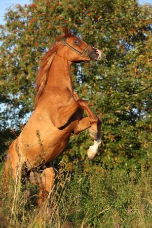 mottle: Splendido cavallo arabo rampante in serata estiva Archivio Fotografico