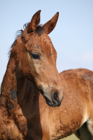 filly: Nice brown filly looking in front of blue natural background