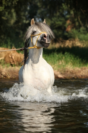 Gorgeous welsh mountain pony stallion which is bathing in river photo