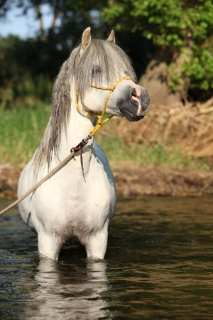Potrait of gorgeous welsh mountain pony stallion which is bathing in river photo