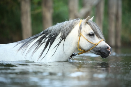 Potrait of gorgeous welsh mountain pony stallion which is swimming in river photo
