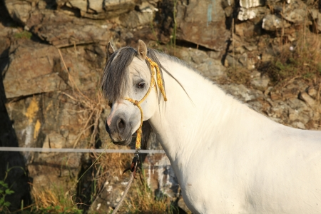 halter: Gorgeous white stallion of welsh mountain pony with yellow halter