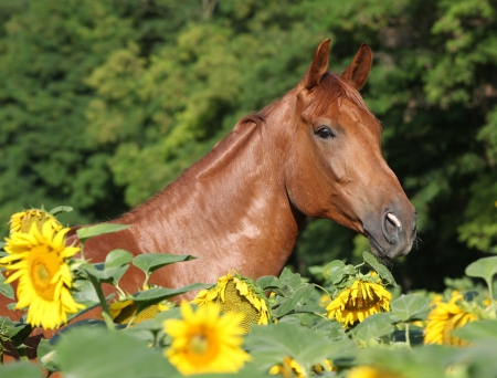 warmblood: Portrait of beautiful warmblood horse standing in sunflowers Stock Photo