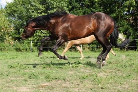Brown and palomino stallions running on pasturage in summer photo
