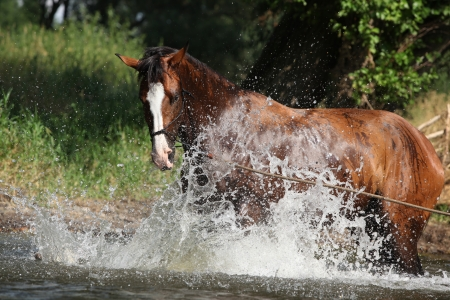 halter: Nice brown horse with rope halter playing in the water