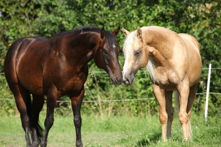 Two stallions standing on pasturage in summer photo