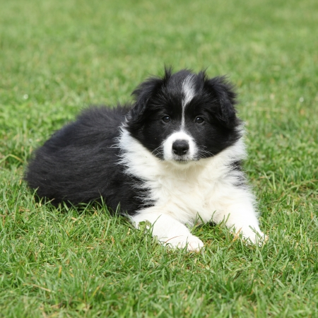 Beautiful border collie puppy lying in the garden Reklamní fotografie