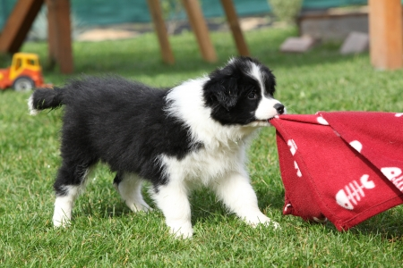 border collie puppy: Gorgeous border collie puppy playing in the garden