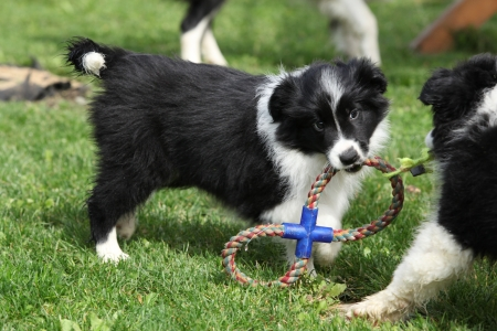 inaction: Adorable border collie puppies playing in the garden Stock Photo