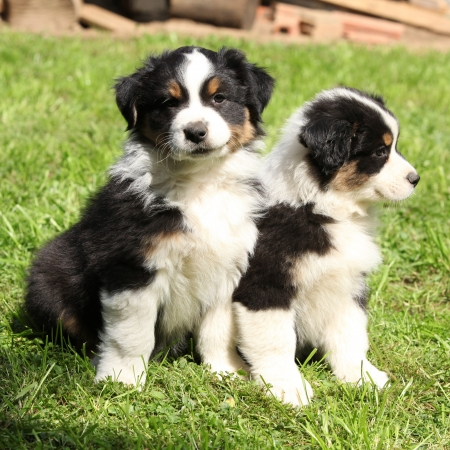 australian shepherd: Two australian shepherd puppies together in the garden