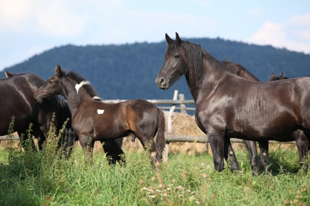 inaction: Nice black horses on green pasturage in autumn