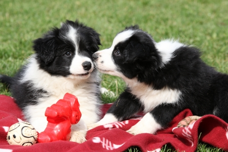 Adorable border collie puppies playing in the garden Stock Photo