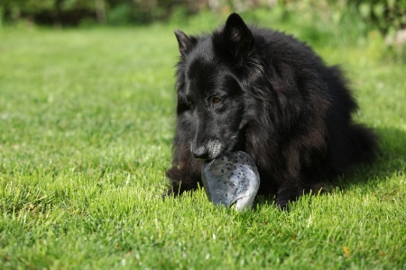 Black hungry dog eating fresh salmon head on the grass photo