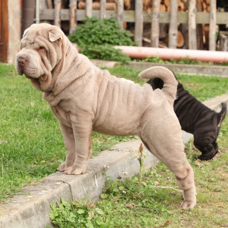 Young sharpei looking and standing in the garden photo