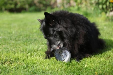 dog salmon: Black hungry dog eating fresh salmon head on the grass