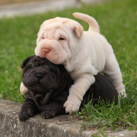 Two sharpei puppies lying together in the garden photo