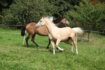 Two palomino horses running on pasturage in autumn photo