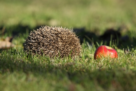 Hedgehog in the garden doing I am not here Stock Photo