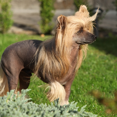 Portrait of beautiful Chinese Crested Dog in the garden