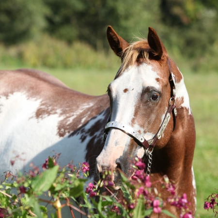 inaction: Nice paint horse mare behind some purple flowers