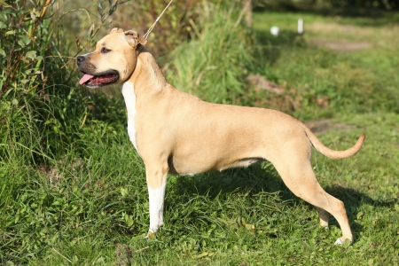 staffordshire: Beautiful American Staffordshire Terrier in autumn nature