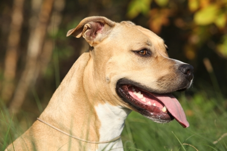 Beautiful American Staffordshire Terrier in autumn nature photo