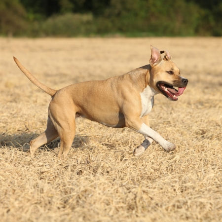 american staffordshire terrier: American Staffordshire Terrier running in autumn