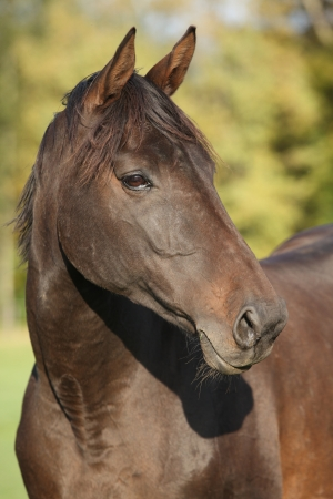warmblood: Nice brown warmblood with black mane in autumn