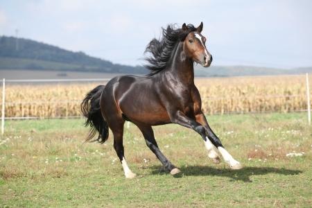Nice brown stallion with long mane running on pasturage Stock Photo - 23224339