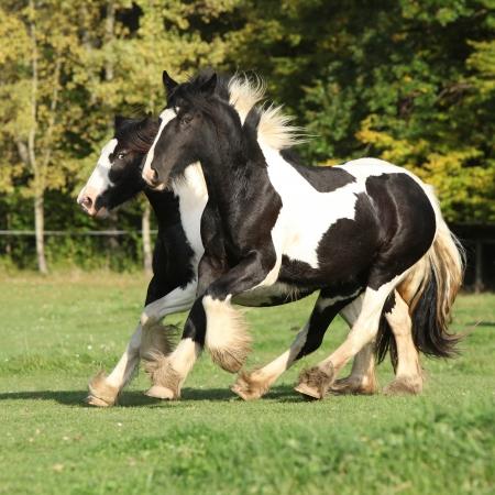 Two horses running on pasturage in autumn Stock Photo - 23246226