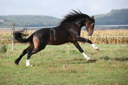 Welsh part bred stallion jumping on pasturage Stock Photo